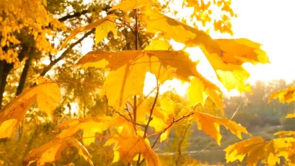 Krásné žluté listí na stromech. Zlatý podzim. paprsky slunce přes listy