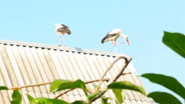 Two storks on the roof of the house. Beautiful blue sky. Tree branches