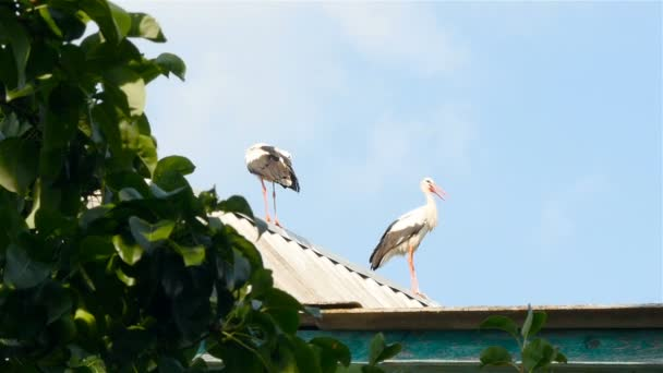 Beautiful storks on the roof of the house. Blue sky