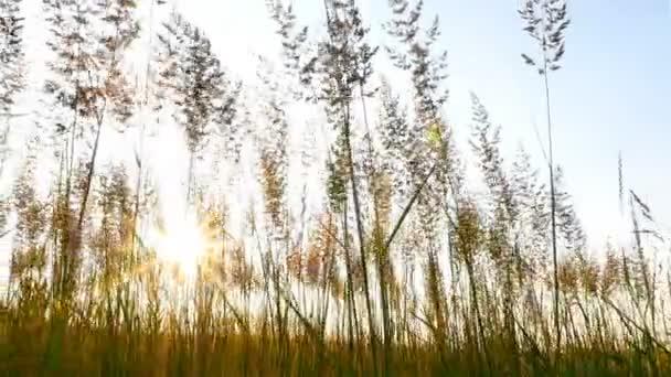Krásné pole s vysokou trávou. Krásné sluneční paprsky při západu slunce. Zpomalený pohyb