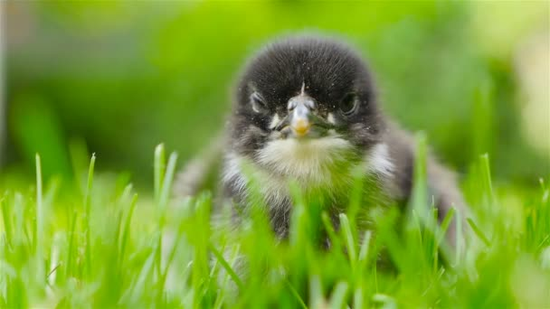A small chick sits in the grass. Close-up