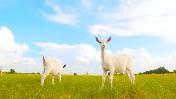 Malé bílé kozy na louce. Kamera v pohybu. Zpomalený pohyb