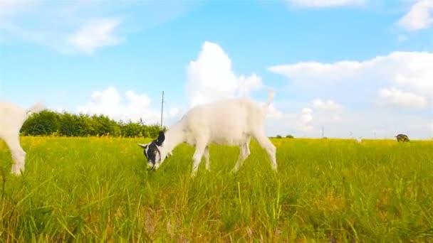 Schöne Ziegen fressen Gras auf der Weide. die Kamera in Bewegung. Zeitlupe
