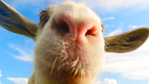 Legrační obličej koza. Pomalý pohyb. Detail