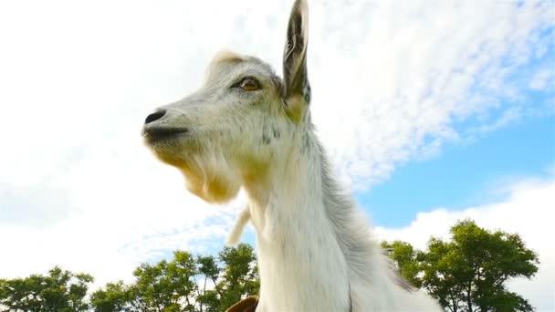 Zvědavá koza hledí do kamery. Detail. Zpomalený pohyb