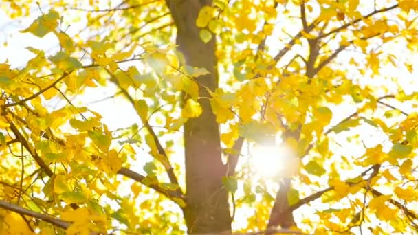 Autumn yellow leaves on a tree. Camera in motion