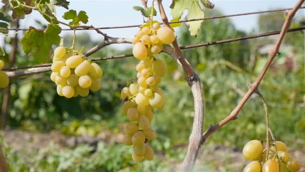 Close-up of a bunch of grapes. Large vineyard. Girl passes by