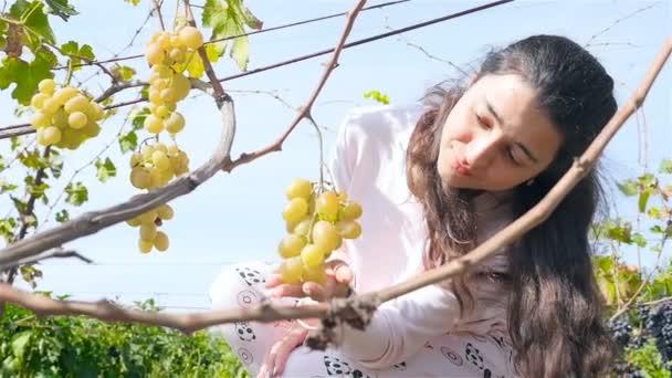 Krásná dívka zvedne hrozen. A velkou vinici. HD