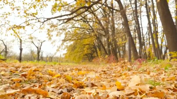 Autumn forest. Yellow leaves. The camera moves forward. Slow motion. HD