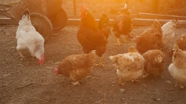Chickens pecking grain. Sunset