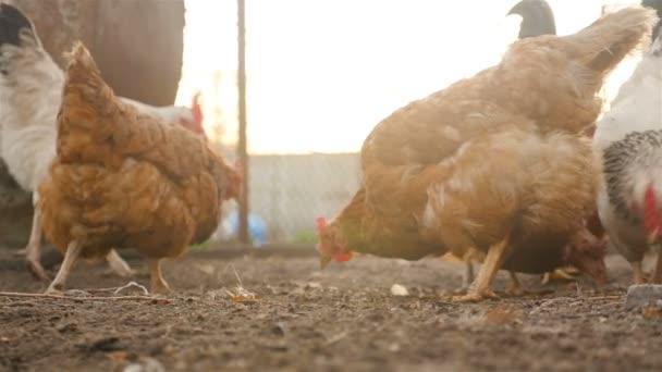 Beautiful chickens eat grain