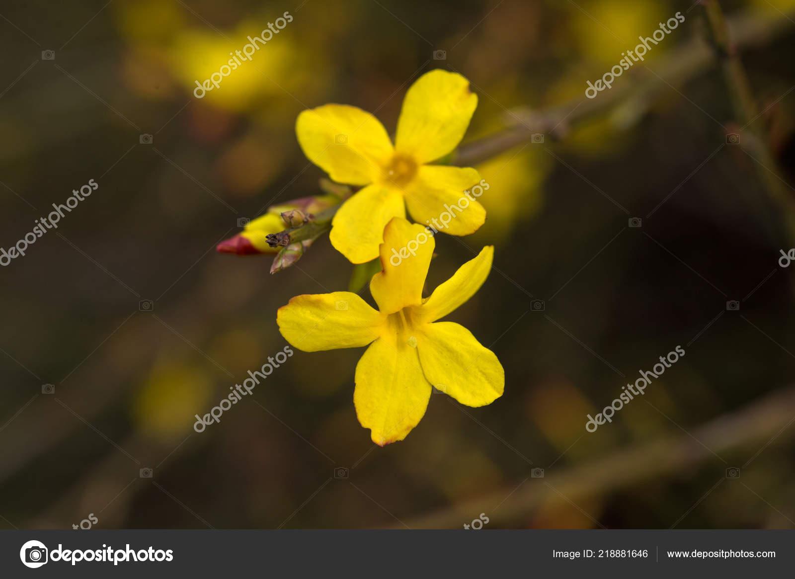 Fleur Jaune Buisson Hiver Jasmin Photographie Darkfreya C 218881646