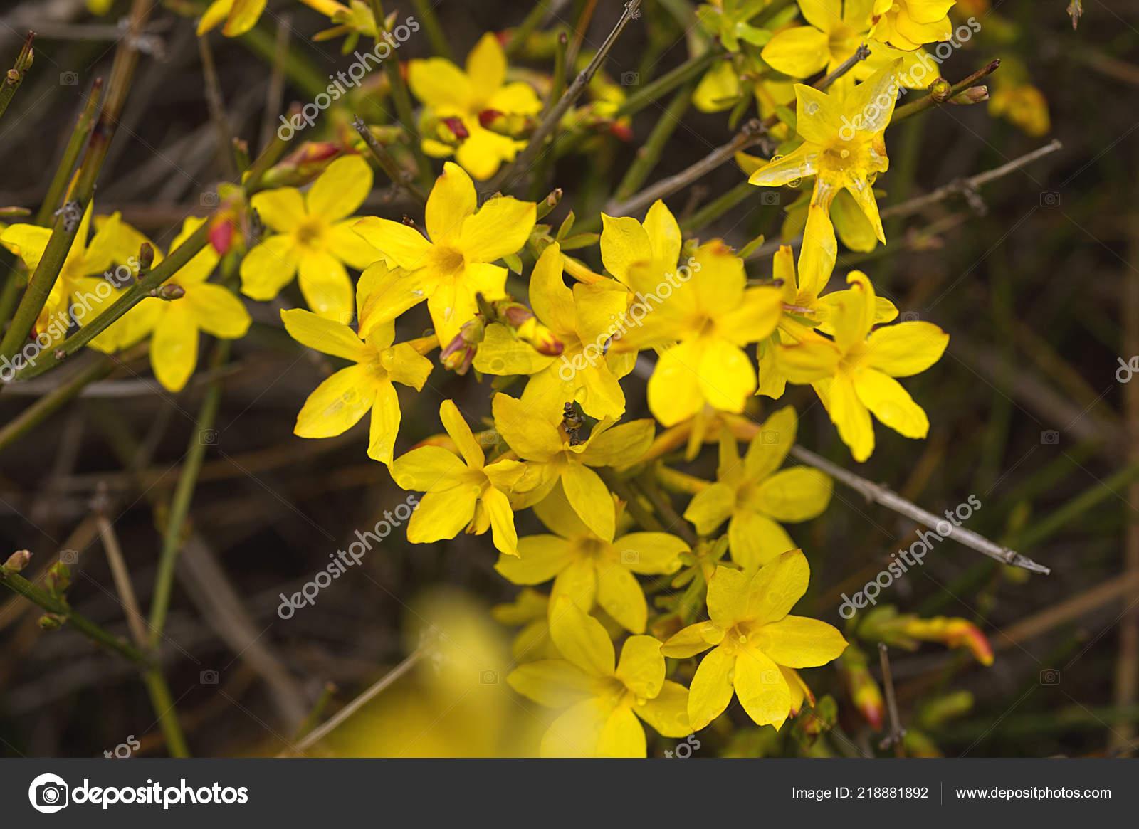 Fleur Jaune Buisson Hiver Jasmin Photographie Darkfreya C 218881892