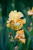 Colorful irises in the garden, perennial garden. Gardening. Bearded iris.