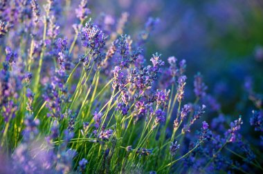 close up of beautiful lavender flowers on field