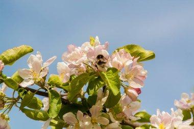 "Картина, постер, плакат, фотообои ""шмель летает до цветения яблони"", артикул 243194416"
