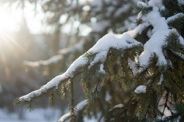 Fir tree with the snow on its branches