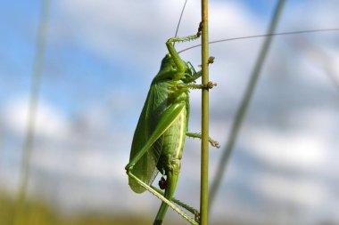 Big green grasshopper or locust on a blade in summer.