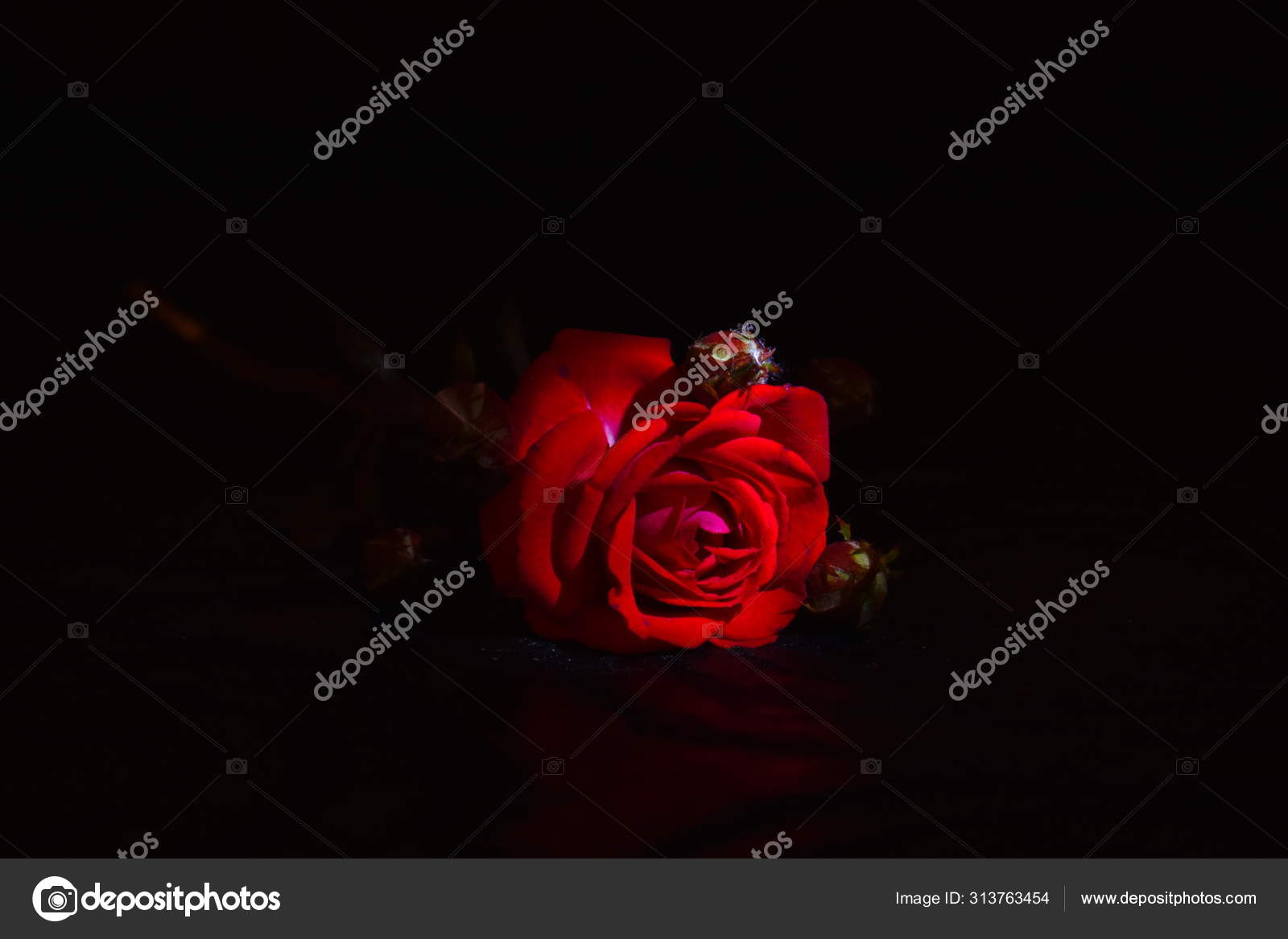 Red Rose Close Up On A Black Background Wallpaper Stock Photo C Vika200581 Mail Ru 313763454