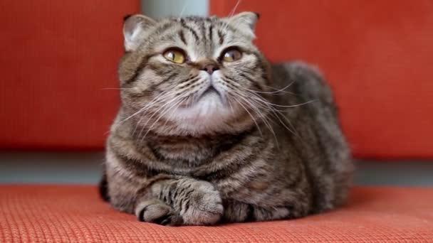 Scottish Fold Kitten on a Sofa.