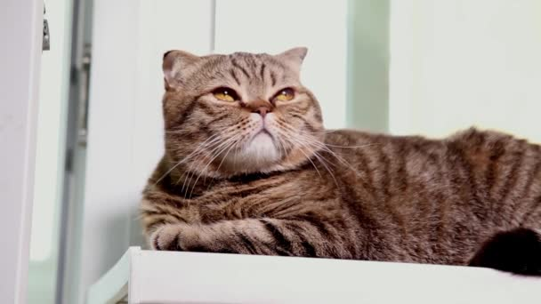 Scottish Fold Kitten Laying on a Windowsill.