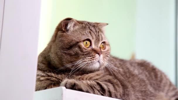 Skotský Fold kotě na okenní parapet.