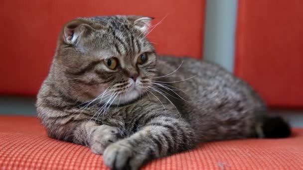 Skotský Fold kočka pokládání na pohovce, rozhlédněte se kolem sebe a zívat.