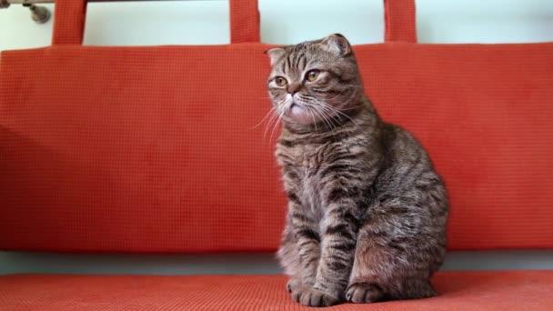 Schottisches Faltkätzchen sitzt auf einem Sofa und schaut sich um.