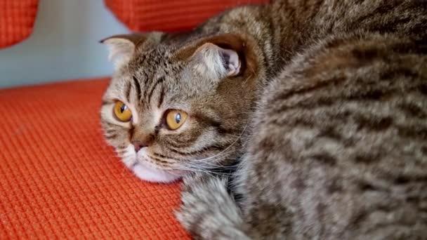 Skotské klapouché kočky na pohovce.