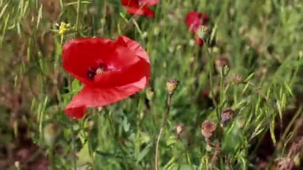 Červené květnaté květy na zeleném poli za slunného letního dne.