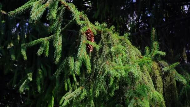 Fenyőtobozok lógó ágak szeles napsütéses nyári napon. Élénk színek.