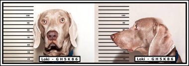 Police photo of the criminal. Dog thief. Weimaraner caught by the police. Funny photo.