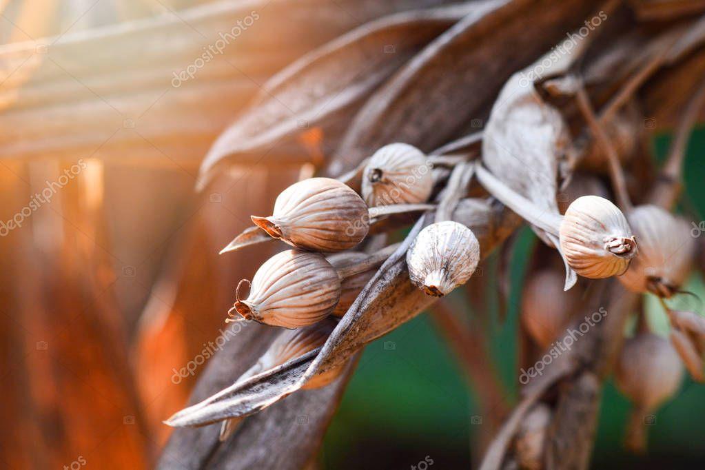 Ripe Job's tears seed on the tree plant ready harvesting