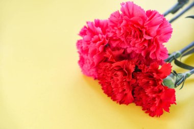 Red and pink carnation flower blooming on yellow background
