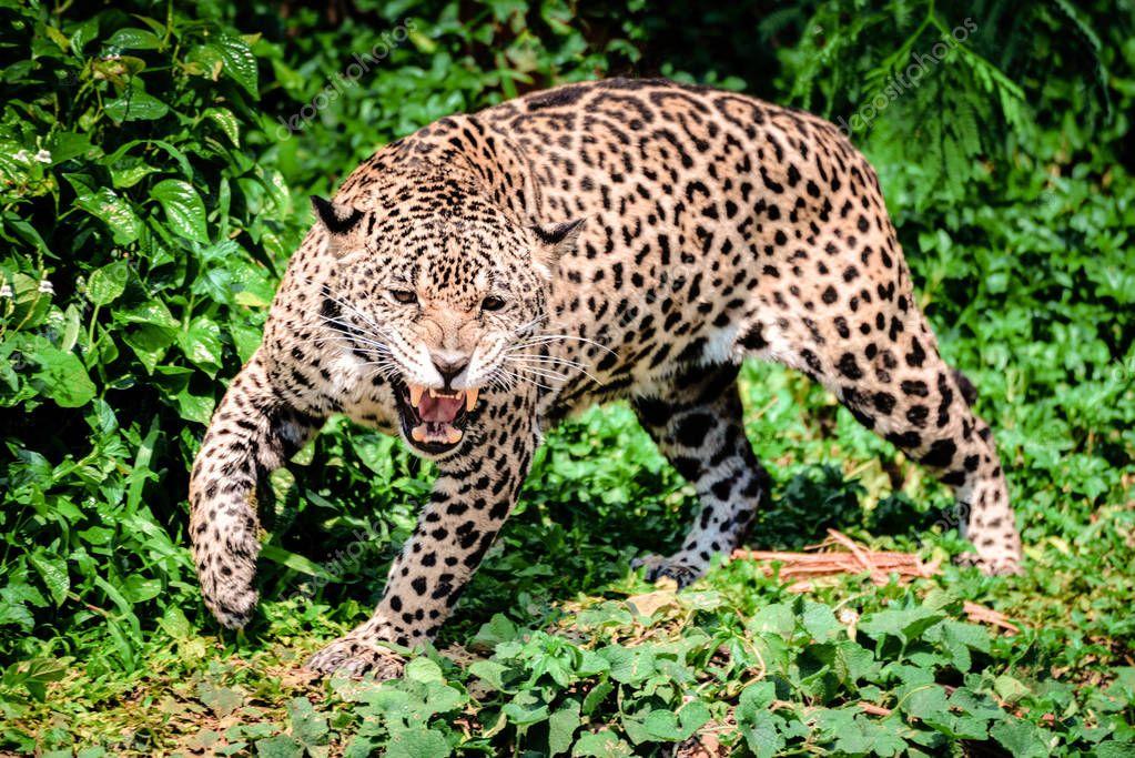 Roar tiger leopard jaguar animal wildlife hunting — Stock ...