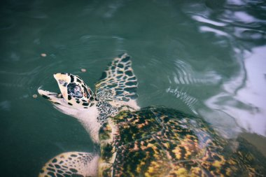 green turtle farm and swimming on water pond - hawksbill sea tur