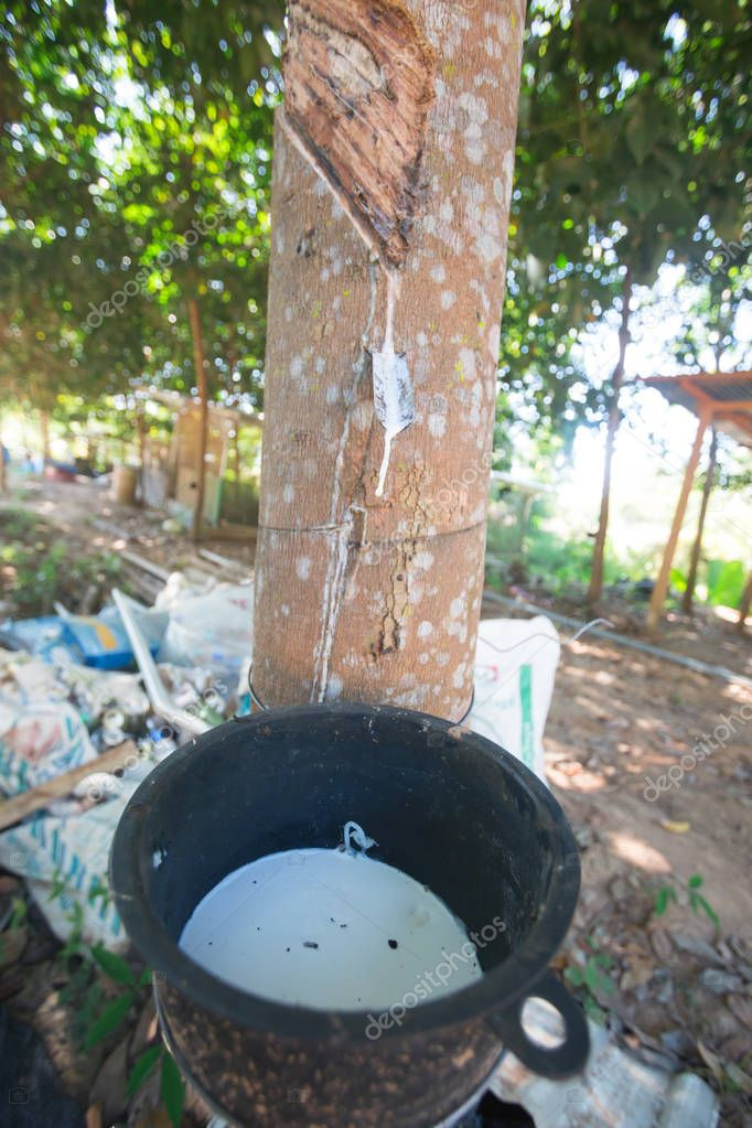 Latex from the rubber tree in the garden, Nan Province of Thailand