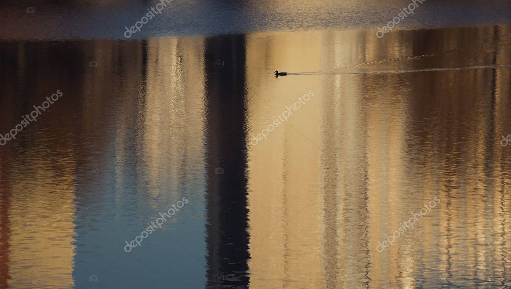 Bird on the city lake in reflections of buildings