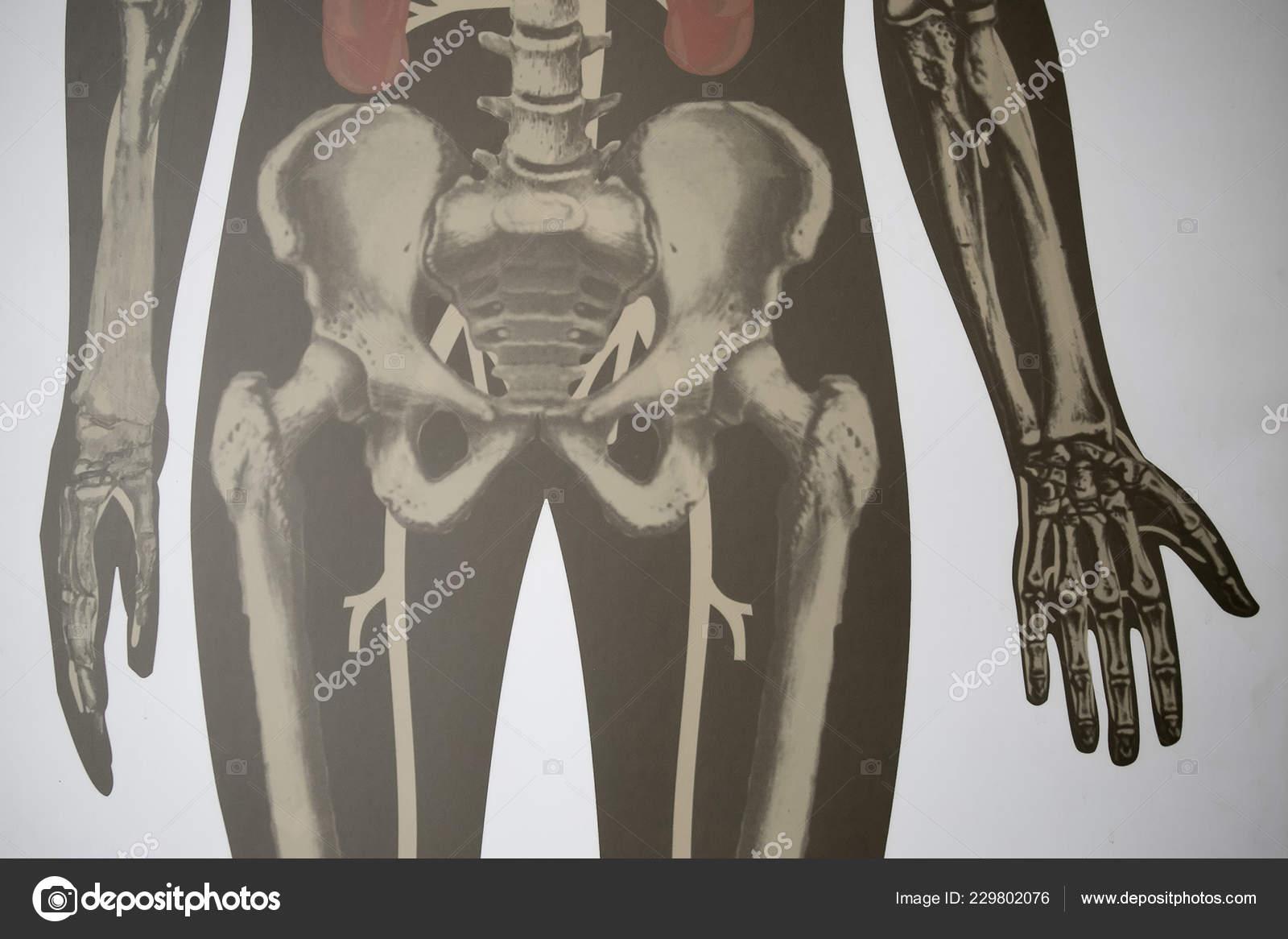 Anatomy Model Internal Organs Human Body Use Medical Education