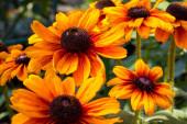summer yellow-orange flowers with a dark core are called rubdekia