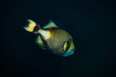 beautiful big Triggerfish near island Koh Tao, thailand