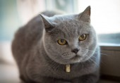 British pretty grey shorthair cat