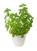 Fresh green basil herb in pot