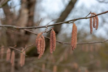 male catkins on a common hazel tree Latin corylus avellana from the birch family or betulaceae the fruit is the hazelnut in winter in the marshes or pallude