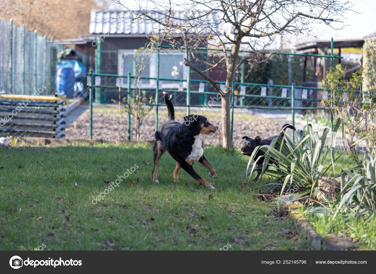 Appenzeller Mountain Dog Plays With A Labrador Mix Puppy