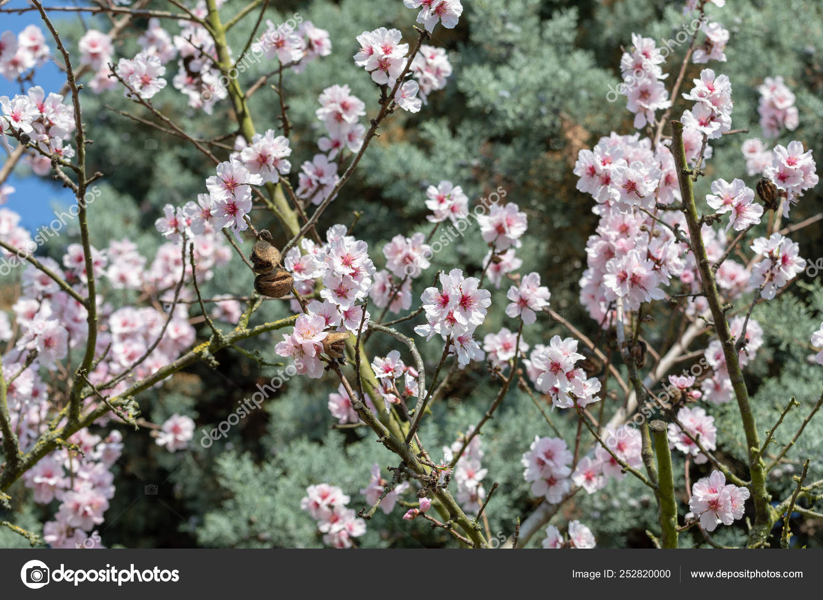 Arbol De Cerezo Japones Árboles de flor de cerezo japonés hermoso blanco y rosa en b