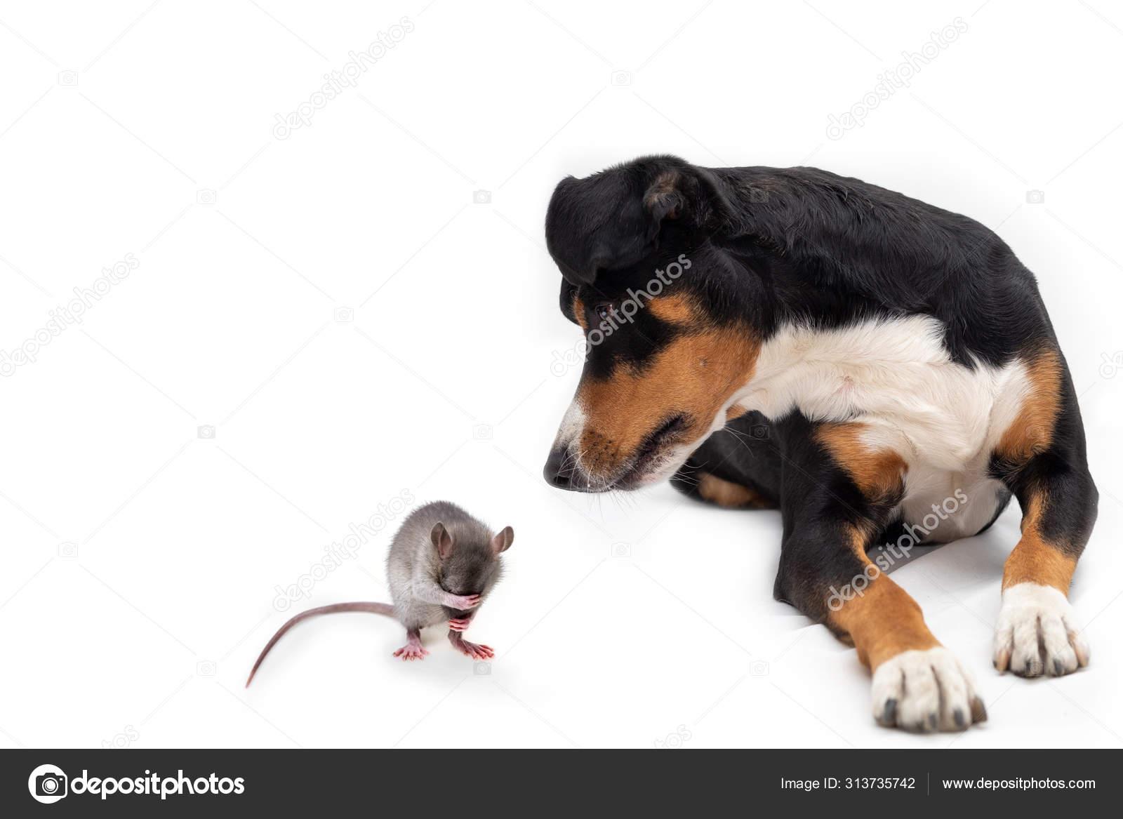 Tricolor Dog And A Rat Appenzeller Sennenhund Stock Photo