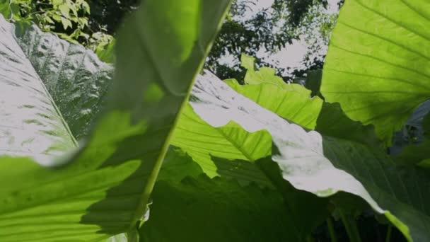 Sloní sluchové Listi v džungli. Zelené listí pod sluncem v tropickém deštním lese.