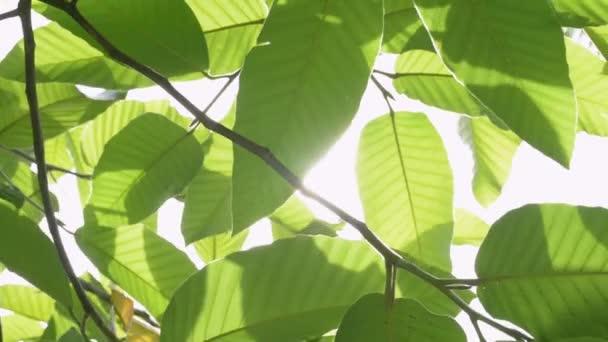 Krása slunečního svitu skrze zelené listy stromu foukající větrem.