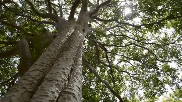 Tavaszi nap óvatosan besütött át a zöld ágak egy nagy fa a trópusi esőerdők.